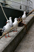 The Four Gulls